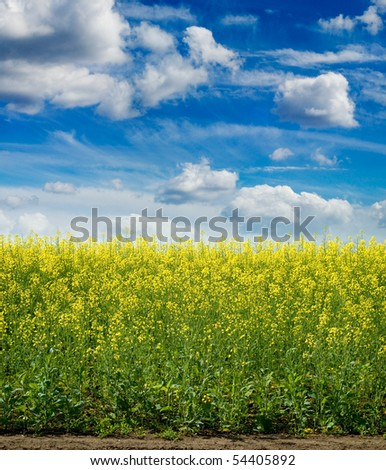 rapeseed - stock photo