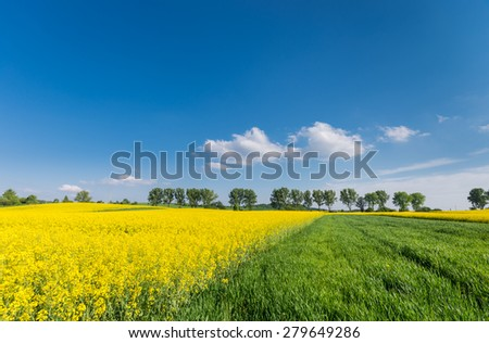 Rapeseed and cereal field with a row of trees in the background on a sunny afternoon - stock photo