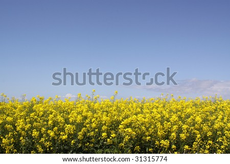 Rapeseed blossom against a bright blue sky with friendly clouds