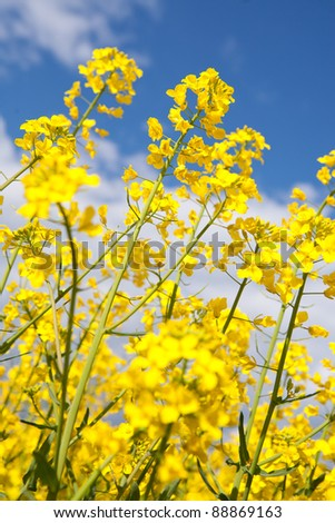 Rapeseed, canola crops on blue sky - stock photo