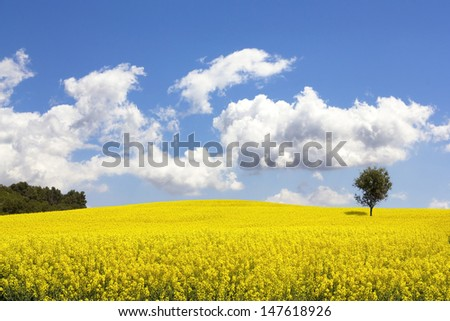 Rapeseed field (Brassica napus) in Catalonia, Spain. These fields are cultivated for  vegetable oil for human consumption, forage and biodiesel. - stock photo