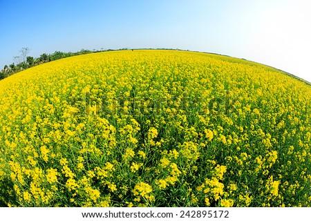 Rapeseed field, Brassica napus (mustard family) - stock photo
