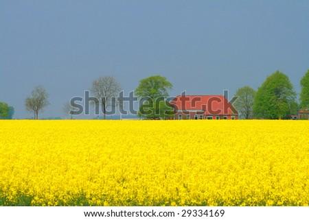 Rapeseed Field, Groningen, The Netherlands - stock photo