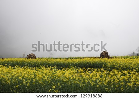 Rapeseed field in mist in Hagiang province, Vietnam - stock photo