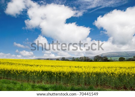 Rapeseed Field in Rural Somerset.