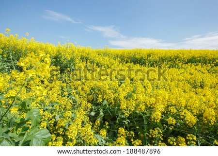 Rapeseed field. Oilseed Rape, Canola, Biodiesel Crop - stock photo