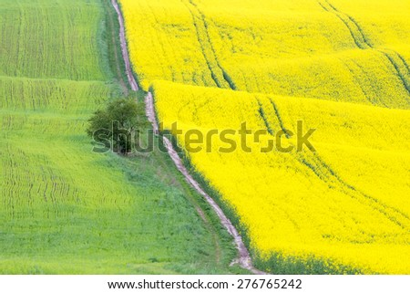 Rapeseed field with a lone standing tree - stock photo