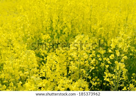 rapeseed flower in a field - stock photo
