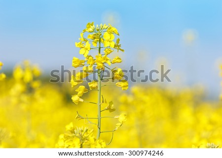 Rapeseed flower in a field Close up of oil seed rape blooming. Soft and blur style for background. - stock photo