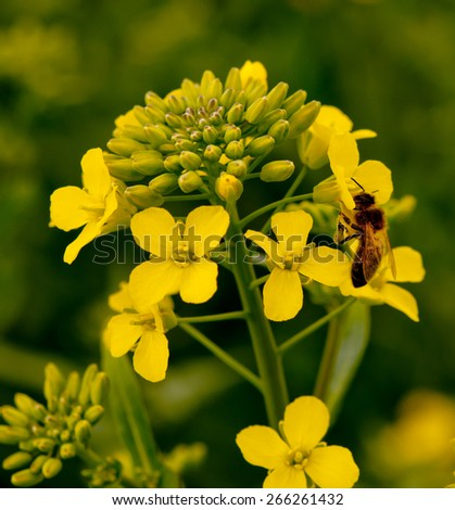 rapeseed flowers covered with dew in a field  - stock photo