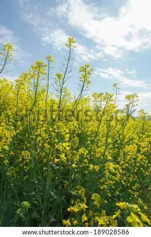 Rapeseed. Oilseed Rape, Canola, Biodiesel Crop.  Flowering oilseed rapeseed - stock photo