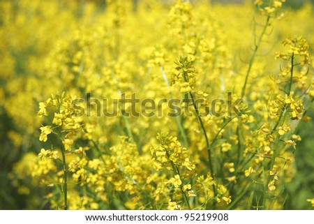 rapeseed plants in the field - stock photo