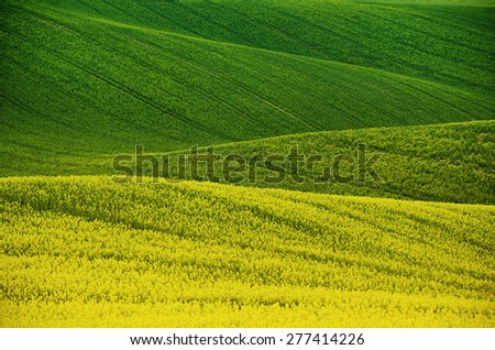 Rapeseed yellow green field in spring, abstract natural eco seasonal floral background - stock photo