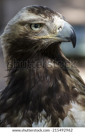 raptor, eagle brown plumage and pointed beak - stock photo
