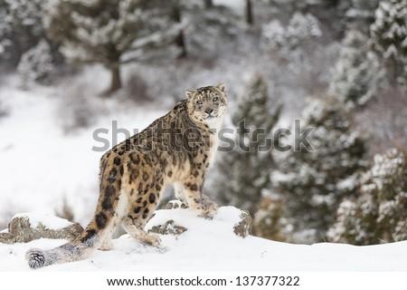 Rare and Elusive Snow Leopard in winter snow scene - stock photo