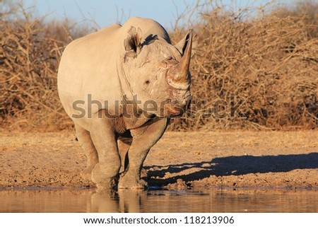 Rare and Endangered - Black Rhino.  Photo taken on a game ranch in Namibia, Africa. - stock photo