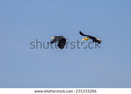 Rare bird of Wreathed hornbill(Rhyticeros undulatus) flying in the sky in nature  at Khaoyai national park,Thailand - stock photo