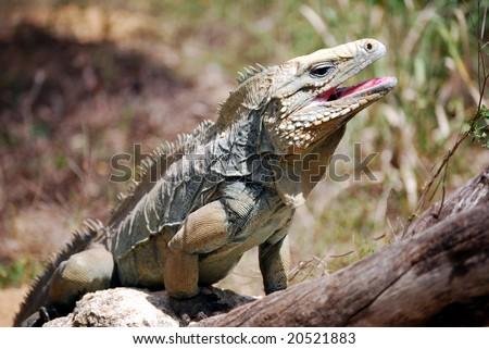 Rare Blue Iguana, also known as Grand Cayman Iguana (Cyclura lewisi) on the island of Grand Cayman - stock photo