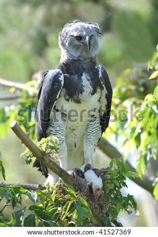rare central american harpy eagle feeding on mouse, costa rica - stock photo