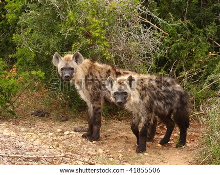 Rare daytime sighting of two Spotted Hyenas. - stock photo