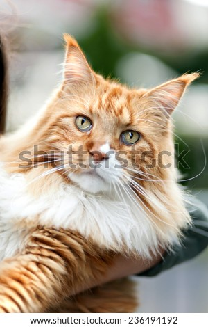 Rare purebred Maine Coon cat close up.  Shallow depth of field. - stock photo