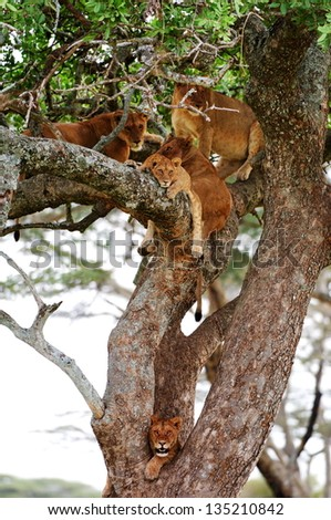 Rare shot of lions in tree - stock photo