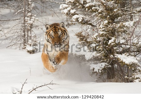 Rare Siberian Tiger running in snow between trees - stock photo