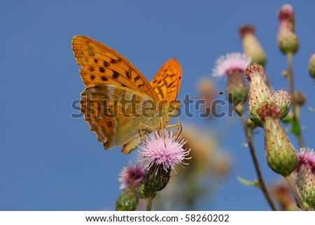 rare silver washed fritillary butterfly - stock photo