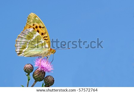 Rare silver washed fritilliary against a blue sky - stock photo