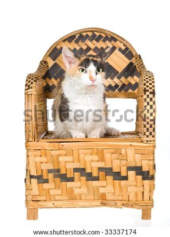 Rare Skookum short leg cat on woven bamboo chair, on white background - stock photo