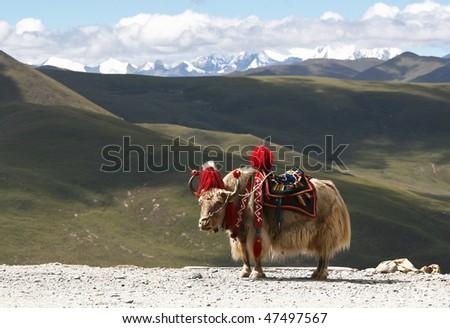 Rare white yak with Himalaya mountain range at the background - stock photo