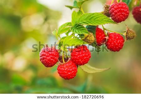 Raspberries. Growing Organic Berries Closeup. Ripe Raspberry In The Fruit Garden - stock photo