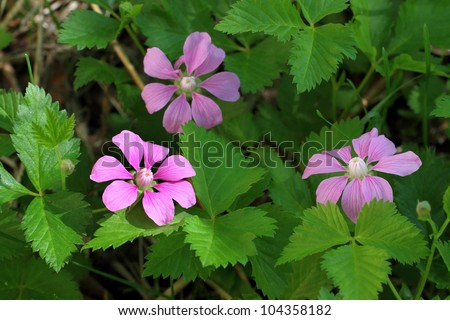 Raspberry arctic - Rubus arcticus L. Northern Rubus arcticus berry. Plant flower close up - stock photo