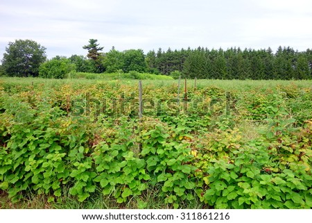 Raspberry field at a farm in Ontario, Canada - stock photo