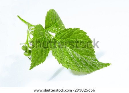 Raspberry Leaf isolated on a white background