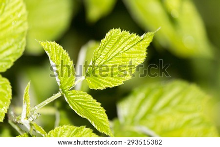 raspberry leaves after rain