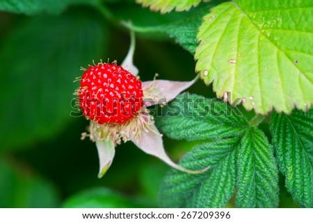 Raspberry-Rubus hirsutus, Kanagawa Prefecture/Japan, 2013/5/10.  - stock photo
