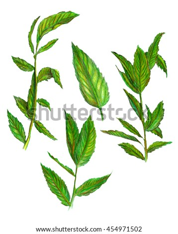 Raster colorful image of some mint leaves isolated on white. Design element, illustration for healthcare, medical, herbal, natural themes. Textile. Printed production. - stock photo