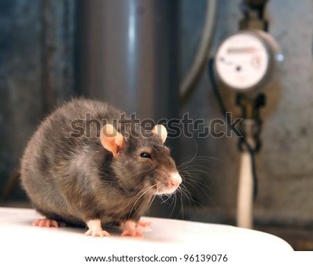 Rat - stock photo