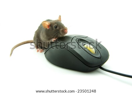 rat and a computer mouse