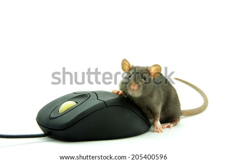 Rat and a computer mouse on white background - stock photo