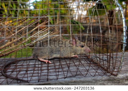 Rat in a metal trap