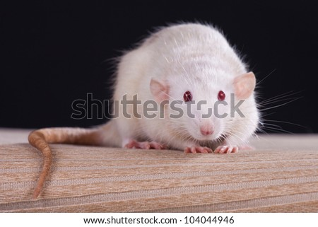 Rat in front of a black background