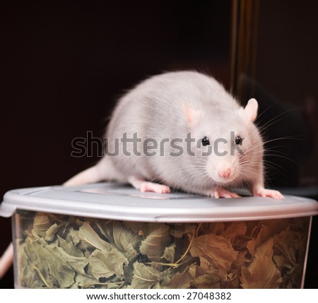 rat in kitchen,focus on a head.