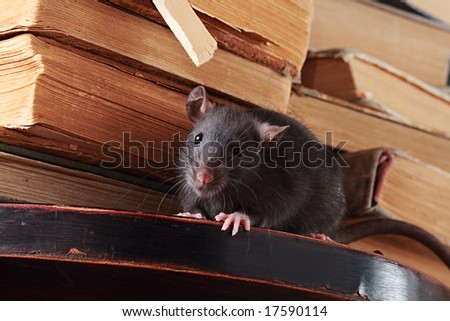 rat  in library,focus on a head - stock photo
