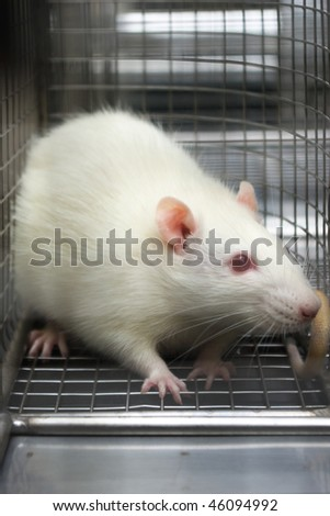 rat looking scared trapped in a cage - stock photo