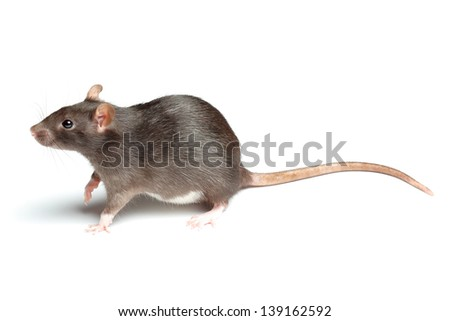 rat over white - stock photo