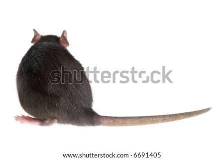rat's back - stock photo