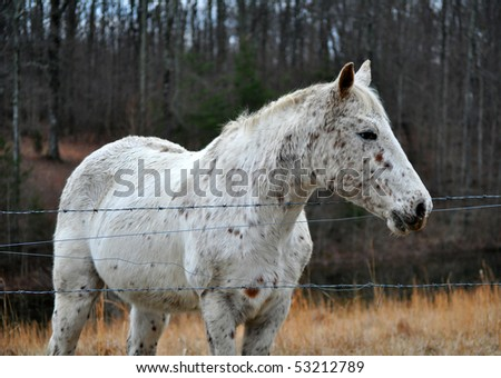 Rat-tailed Appaloosa Mare in pasture