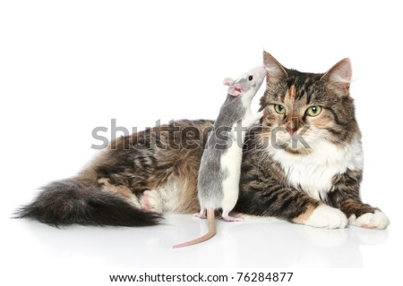 Rat whispered to the cat in ear, which rests on a white background - stock photo